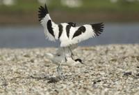 Eurasian Avocet (Recurvirostra avosetta) two adults, fightin 32259003642| 写真素材・ストックフォト・画像・イラスト素材|アマナイメージズ