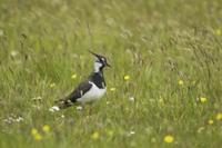 Northern Lapwing (Vanellus vanellus) adult female, summer pl 32259004144| 写真素材・ストックフォト・画像・イラスト素材|アマナイメージズ