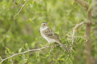 Clay-coloured Sparrow (Spizella pallida) adult, perched on t