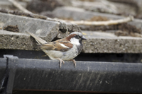 House Sparrow (Passer domesticus) adult male, perched on gut
