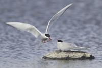 Arctic Tern (Sterna paradisea) adult pair, courtship feeding 32259004637  写真素材・ストックフォト・画像・イラスト素材 アマナイメージズ