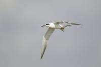 Forster's Tern (Sterna forsteri) adult, non-breeding plumage