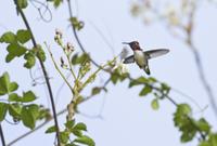 Bee Hummingbird (Mellisuga helenae) adult male, in flight, h