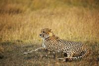 Cheetah (Acinonyx jubatus) adult male, resting in grassland, 32259004897| 写真素材・ストックフォト・画像・イラスト素材|アマナイメージズ