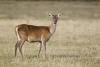 Red Deer (Cervus elaphus) hind, chewing food in mouth, stand