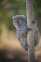 Eastern Grey Gentle Lemur (Hapalemur griseus griseus) adult,