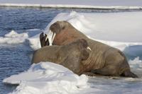 Atlantic Walrus (Odobenus rosmarus rosmarus) adult pair, res 32259005399| 写真素材・ストックフォト・画像・イラスト素材|アマナイメージズ