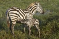 Common Zebra (Equus quagga) adult female with newborn foal,