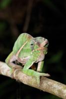 Belted Chameleon (Furcifer balteatus) adult male, walking al