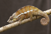 Panther Chameleon (Furcifer pardalis) adult male, clinging t