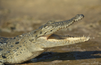 Crocodile - Marsh (Crocodylus palistris)Close-up of head wit