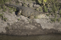 Nile Crocodile (Crocodylus niloticus) adult, with mouth open