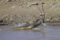 Nile Crocodile (Crocodylus niloticus) adult, feeding on Comm
