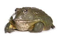 Giant Bullfrog (Pyxicephalus adspersus) adult 32259005450| 写真素材・ストックフォト・画像・イラスト素材|アマナイメージズ