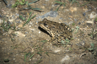 Marsh Frog (Rana ridibunda)     Spain