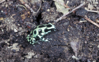 Frog-Poison Arrow (Dendrobates auratus) Sitting on soil
