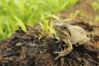 Southern Foam-nest Treefrog (Chiromantis xerampelina) adult,