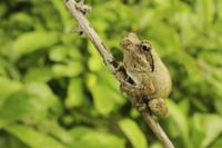 Southern Foam-nest Treefrog (Chiromantis xerampelina) adult, 32259005463  写真素材・ストックフォト・画像・イラスト素材 アマナイメージズ