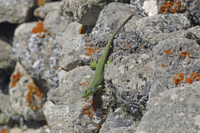 Balkan Green Lizard (Lacerta trilineata) adult, basking on r