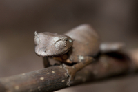 Fantastic Leaf-tailed Gecko (Uroplatus phantasticus) adult f