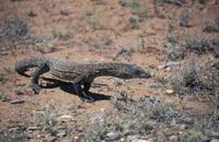 Giant Monitor Lizard  (Varanus giganteus) Australia