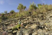Schreiber's Green Lizard (Lacerta schreiberi) adult female,  32259005486| 写真素材・ストックフォト・画像・イラスト素材|アマナイメージズ