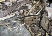Lizard Skink Wright's (Mabuya wrightii)