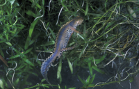 Alpine Newt (Triturus alpestris) Swimming amongst weed