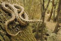 Leopard Snake (Zamenis situla) adult, on tree trunk in woodl