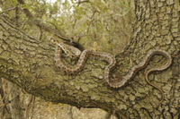 Leopard Snake (Zamenis situla) adult, on branch in tree, Cro