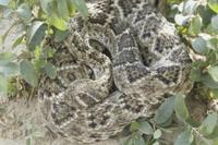 Western Diamondback Rattlesnake (Crotulus atrox) adult, coil