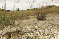 Viperine Snake (Natrix maura) adult, resting on stones in ha 32259005514| 写真素材・ストックフォト・画像・イラスト素材|アマナイメージズ