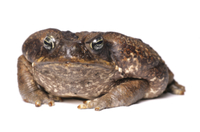 Cane Toad (Rhinella marinus) adult