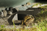Common Toad (Bufo bufo) adult pair, in amplexus, after cross