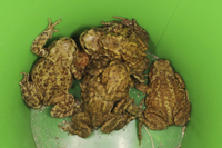 Common Toad (Bufo bufo) adults, in plastic bucket, rescued b