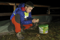 Common Toad (Bufo bufo) adults, being rescued by volunteer b