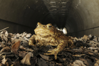 Common Toad (Bufo bufo) adult, crossing road in underground