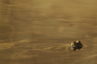 Common Toad (Bufo bufo) adult, at surface of water, Italy, m