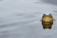 Common Toad (Bufo bufo) adult, head emerging from water, Ita