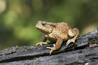Common Toad (Bufo bufo) adult, sitting on log, Warwickshire,