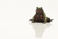 Oriental Fire-bellied Toad (Bombina orientalis) adult, sitti