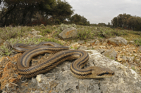 Four-lined Snake (Elaphe quatuorlineata) adult, on rocks in