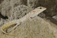 Abdel Kuri Rock Gecko (Pristurus abdelkuri) adult, resting o 32259005551  写真素材・ストックフォト・画像・イラスト素材 アマナイメージズ