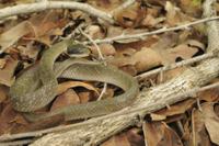 White-lipped Herald Snake (Crotaphopeltis hotamboeia) adult, 32259005559| 写真素材・ストックフォト・画像・イラスト素材|アマナイメージズ
