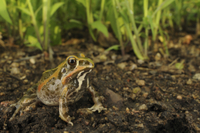 Ornate Frog (Hildebrandtia ornata) adult, sitting on mud, Ru