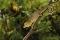 Ituri Chameleon (Kinyongia adolfifriderici) adult, clinging
