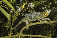 Johnston's Three-horned Chameleon (Trioceros johnstoni) adul