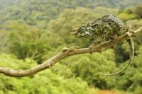 Johnston's Three-horned Chameleon (Trioceros johnstoni) adul 32259005564  写真素材・ストックフォト・画像・イラスト素材 アマナイメージズ