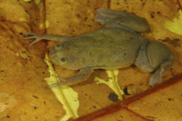 De Witte's Clawed Frog (Xenopus wittei) adult, on submerged