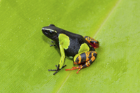 Baron's Painted Mantella (Mantella baroni) adult, sitting on